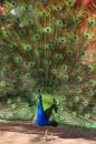 Male Peacock Stock Photo