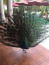 Male Peacock Bird In Jamaica; Tail Feathers Spread Royalty Free Stock Photo