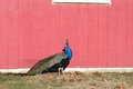 Male peacock in farm winter Stock Images