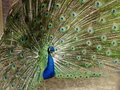 Male Peacock with Plumage in full display Royalty Free Stock Images