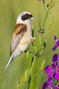 A male of penduline tit  / Remiz pendulinus Royalty Free Stock Photo