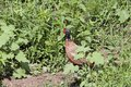 Male phasianus hiding amongst the weeds pheasant colchicus green Stock Images