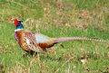 Male Pheasant Royalty Free Stock Images