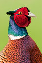 Male Pheasant Close up against Green Backround Stock Photography