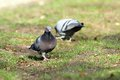Male Pigeon Looking For Mate I...