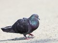 Male Pigeon In Mating Season