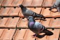 Male Pigeon On The Roof Tiles