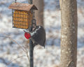 Male pileated woodpecker feeding on suet in the snow is largest united states has a distinctive red line of feathers from under Royalty Free Stock Image