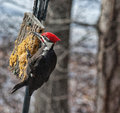 Male pileated woodpecker feeding on suet in the winter is largest united states has a distinctive red line of feathers from under Royalty Free Stock Image
