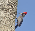 Male pileated woodpecker on a tree Royalty Free Stock Photography