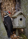 Male pileated woodpecker a working his way through the bark of a tree next to a wooden birdhouse Stock Photos