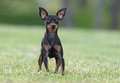 Male pincher toy dog playing at a park Royalty Free Stock Photos