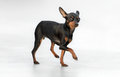 Male pincher toy dog running Royalty Free Stock Photography
