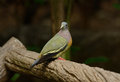 Male Pink-necked Green-Pigeon (Treron vernans) Stock Image