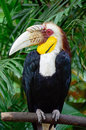 Male plain pouched hornbill a rhyticeros subruficollis head profile Royalty Free Stock Photo