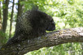 Male porcupine in springtime big walking on oak branch Stock Photos