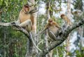 Male proboscis monkey on borneo indonesia family of monkeys in a tree nasalis larvatus sitting a tree in the wild green rainforest Stock Images