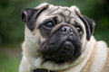 Male pug dog breed portrait of a in local park liverpool uk Royalty Free Stock Photos