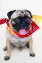 Male pug dog full body portrait an indoor vertical of a with his tongue hanging out wearing a bandanna Stock Photography