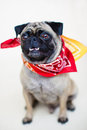 Male pug dog portrait an indoor vertical full body of a with an adorable underbite wearing a bandanna Stock Photos