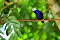 Male purple honeycreeper bird standing on a tree branch in an aviary in butterfly world south florida the typical honeycreepers Royalty Free Stock Photo