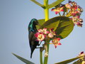 Male purple sunbird is feeding on its main food flower s nector perched plant and the nectar bright sunlight reflects bird Stock Photos