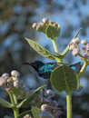 Male purple sunbird is perched on flower plant s nector main diet of this bird colour of bird and bright green Stock Image