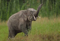 A male pygmy elephant displays his abilities Royalty Free Stock Photos