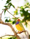 Male Rainbow Finch bird Stock Photo