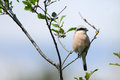 Male Red-Backed Shrike Stock Photo