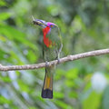 Male red bearded bee eater a colorful nyctyornis amicyus beast profile with prey for its chicks standing on a branch Stock Photography