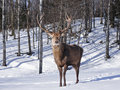 Male Red Deer Royalty Free Stock Image