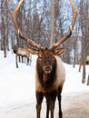 Male Red Deer in winter Royalty Free Stock Photography