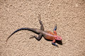 Male Red-headed Rock Agama, Tanzania Royalty Free Stock Photo