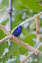 Male red legged honeycreeper blue suit and shoes at the panamonte hotel boquete Stock Image