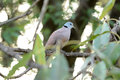 Male red turtle dove streptopelia tranquebarica beautiful on the tree Stock Photos