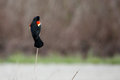 Male red-winged blackbird perched on a reed. Royalty Free Stock Photo