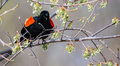 Male Red-winged Blackbird in a tree in soft focus Stock Photo