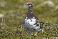 Male Rock ptarmigan standing on the tundra summer Royalty Free Stock Photo