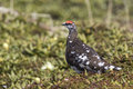 Male Rock Ptarmigan in the summer tundra sunny Royalty Free Stock Photo