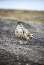 Male rock ptarmigan Royalty Free Stock Photo