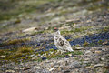 Male Rock Ptarmigan in Svalbard Royalty Free Stock Photo