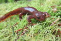 Male rough skinned newt in western washington Stock Photo
