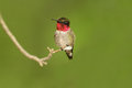 Male Ruby-throated Hummingbird Royalty Free Stock Photos