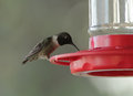 Male ruby throated hummingbird archilochus colubris on feeder filled with nectar sugar water selective focus with soft background Royalty Free Stock Image