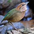 Male rusty naped pitta beautiful brown bird oatesi standing on the rock side profile Royalty Free Stock Image