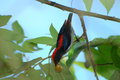 Male scalet flowerpecker beautiful dicaeum cruentatum eating fruit Royalty Free Stock Image
