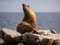 Male sea lion zalophus wollebaeki galapagos islands yawning on rocks on plaza sur island archipelago Stock Photos