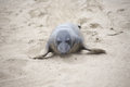 Male seelion crawling at the beach a meeting place of san simeon california Royalty Free Stock Photos