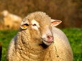 Male Sheep face Royalty Free Stock Photo
